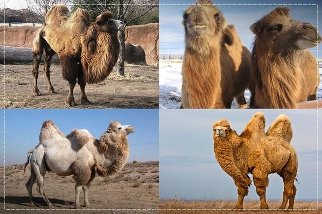 верблюжья шерсть, пряжа, виды пряжи, люцель, модал, рафия, сизаль, крапива, рами, конопляная пряжа, бамбук, соя, шелк, молочная пряжа, лен, кивьют, шьенгора, викунья, мохер, шерсть бизона, шерсть яка, ангора, кашемир, альпака, сури, гуанако, овечья шерсть, мериносовая шерсть, верблюжья шерсть, пряжа вискозная, пряжа хлопковая, пряжа из искусстквенных волокон, описание, вязание на заказ