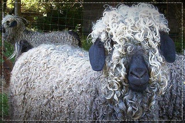 ангорская коза, пряжа, виды пряжи, люцель, модал, рафия, сизаль, крапива, рами, конопляная пряжа, бамбук, соя, шелк, молочная пряжа, лен, кивьют, шьенгора, викунья, мохер, шерсть бизона, шерсть яка, ангора, кашемир, альпака, сури, гуанако, овечья шерсть, мериносовая шерсть, верблюжья шерсть, пряжа вискозная, пряжа хлопковая, пряжа из искусстквенных волокон, описание, вязание на заказ