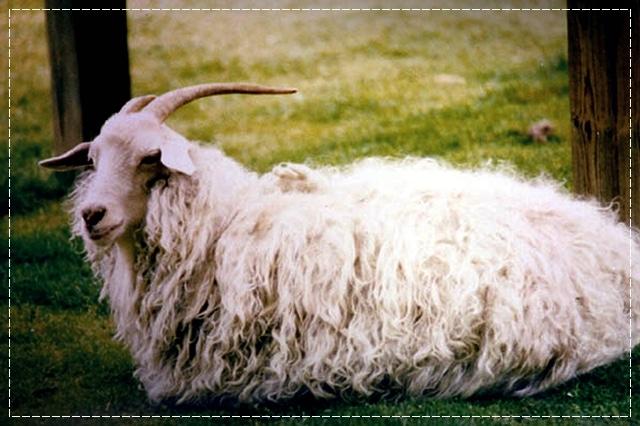оренбургская коза, пряжа, виды пряжи, люцель, модал, рафия, сизаль, крапива, рами, конопляная пряжа, бамбук, соя, шелк, молочная пряжа, лен, кивьют, шьенгора, викунья, мохер, шерсть бизона, шерсть яка, ангора, кашемир, альпака, сури, гуанако, овечья шерсть, мериносовая шерсть, верблюжья шерсть, пряжа вискозная, пряжа хлопковая, пряжа из искусстквенных волокон, описание, вязание на заказ