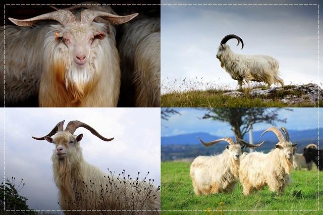 кашемировая коза, пряжа, виды пряжи, люцель, модал, рафия, сизаль, крапива, рами, конопляная пряжа, бамбук, соя, шелк, молочная пряжа, лен, кивьют, шьенгора, викунья, мохер, шерсть бизона, шерсть яка, ангора, кашемир, альпака, сури, гуанако, овечья шерсть, мериносовая шерсть, верблюжья шерсть, пряжа вискозная, пряжа хлопковая, пряжа из искусстквенных волокон, описание, вязание на заказ