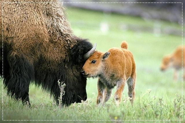шерсть бизона, пряжа, виды пряжи, люцель, модал, рафия, сизаль, крапива, рами, конопляная пряжа, бамбук, соя, шелк, молочная пряжа, лен, кивьют, шьенгора, викунья, мохер, шерсть бизона, шерсть яка, ангора, кашемир, альпака, сури, гуанако, овечья шерсть, мериносовая шерсть, верблюжья шерсть, пряжа вискозная, пряжа хлопковая, пряжа из искусстквенных волокон, описание, вязание на заказ