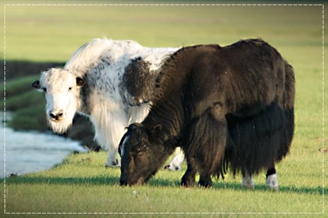 шерсть яка, пряжа, виды пряжи, люцель, модал, рафия, сизаль, крапива, рами, конопляная пряжа, бамбук, соя, шелк, молочная пряжа, лен, кивьют, шьенгора, викунья, мохер, шерсть бизона, шерсть яка, ангора, кашемир, альпака, сури, гуанако, овечья шерсть, мериносовая шерсть, верблюжья шерсть, пряжа вискозная, пряжа хлопковая, пряжа из искусстквенных волокон, описание, вязание на заказ