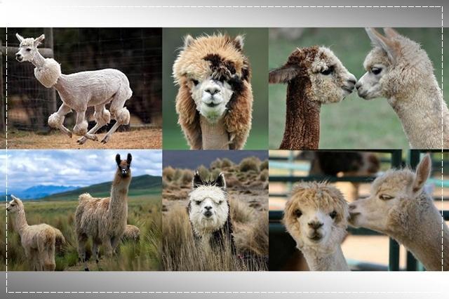 альпака, пряжа, виды пряжи, люцель, модал, рафия, сизаль, крапива, рами, конопляная пряжа, бамбук, соя, шелк, молочная пряжа, лен, кивьют, шьенгора, викунья, мохер, шерсть бизона, шерсть яка, ангора, кашемир, альпака, сури, гуанако, овечья шерсть, мериносовая шерсть, верблюжья шерсть, пряжа вискозная, пряжа хлопковая, пряжа из искусстквенных волокон, описание, вязание на заказ