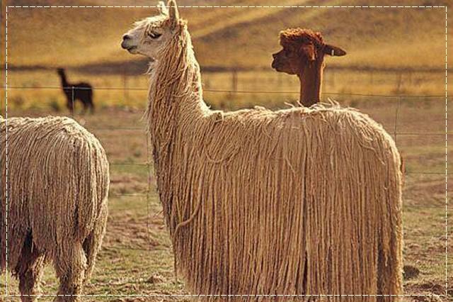 пряжа, виды пряжи, люцель, модал, рафия, сизаль, крапива, рами, конопляная пряжа, бамбук, соя, шелк, молочная пряжа, лен, кивьют, шьенгора, викунья, мохер, шерсть бизона, шерсть яка, ангора, кашемир, альпака, сури, гуанако, овечья шерсть, мериносовая шерсть, верблюжья шерсть, пряжа вискозная, пряжа хлопковая, пряжа из искусственных волокон, описание, вязание на заказ