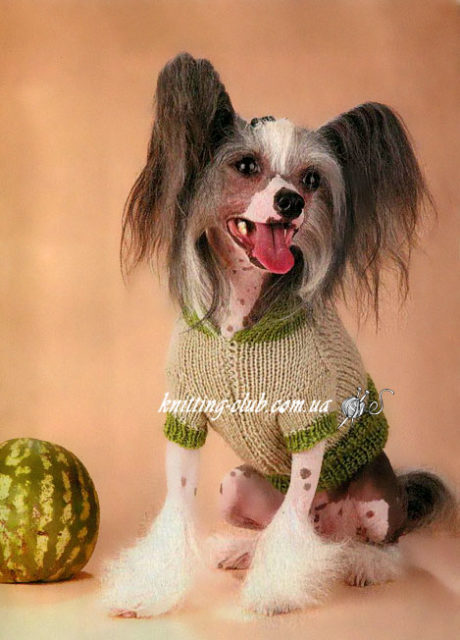 Пуловер с капюшоном для Китайской Голой Хохлатой Собачки, вязание для собак, одежда для собак, вязаная одежда для собак, как связать свитер для собаки, одежда для собак на заказ, вязаная одежда для собак на заказ, пуловердля собачки, как связать пуловердля собаки.